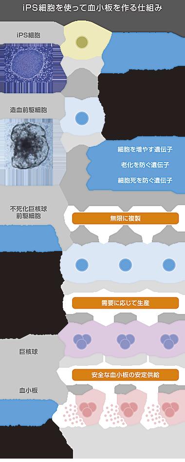 iPS細胞を使って血小板を作る仕組み